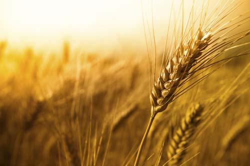 El trigo, el gluten, las alergias